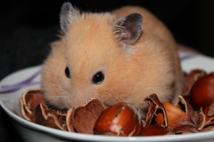 hamster-astuces