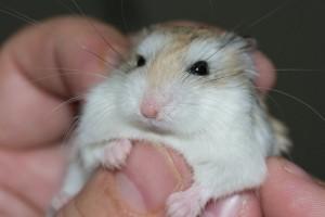 hamster-mignon