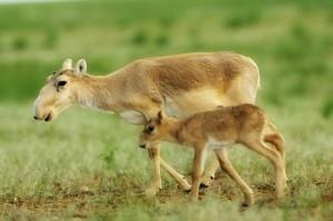 antilope saïga insolite