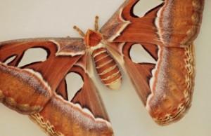 papillon atlas insolite