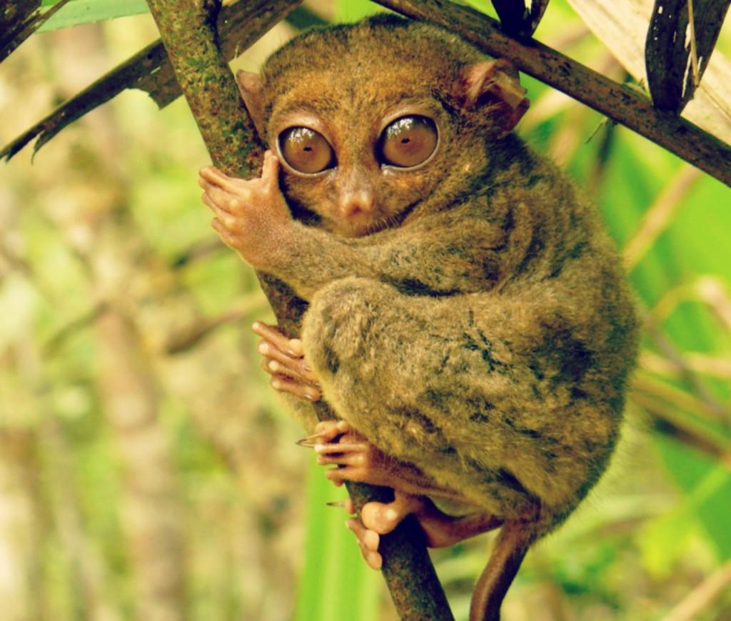 tarsier insolite
