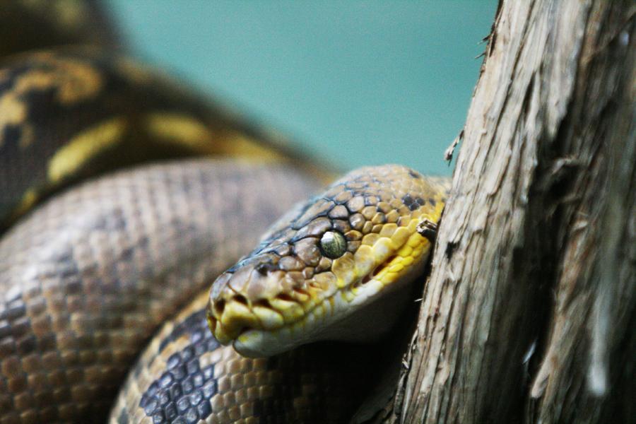 Ce qu'il faut savoir avant d'adopter un serpent.