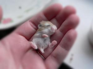 bebe-hamster