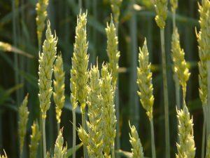 wheat-8244_1280