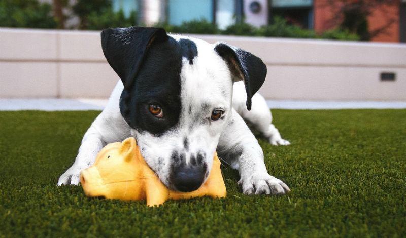 un jeune chien qui machouille son jouet