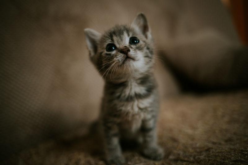 chaton qui regarde en l'air depuis sa litiere