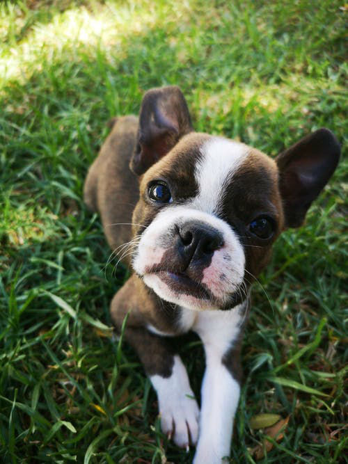 dressage canin